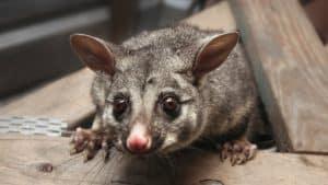 Possum Removal in Strata Schemes