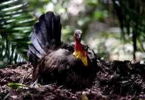 Confident Brush Turkey in strata