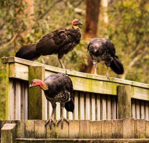 Confident Brush Turkey's on strata fence